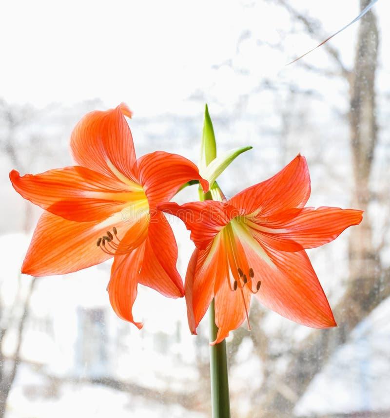 Зацветая красный цвет цветет Hippeastrum стоковые изображения