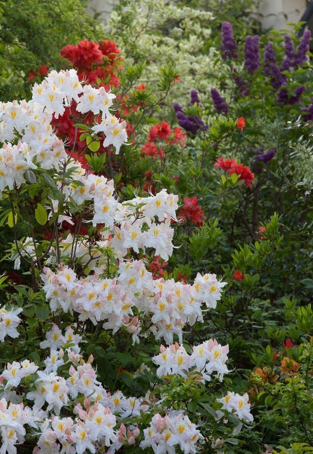 Зацветая кустарники рододендрона в белом и красной стоковая фотография rf