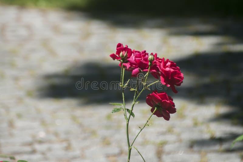Зацветая куст красной розы стоковые изображения rf