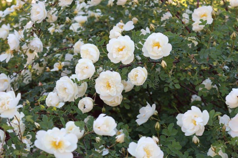Зацветая куст роз Оно покрыто с белыми цветками стоковые изображения