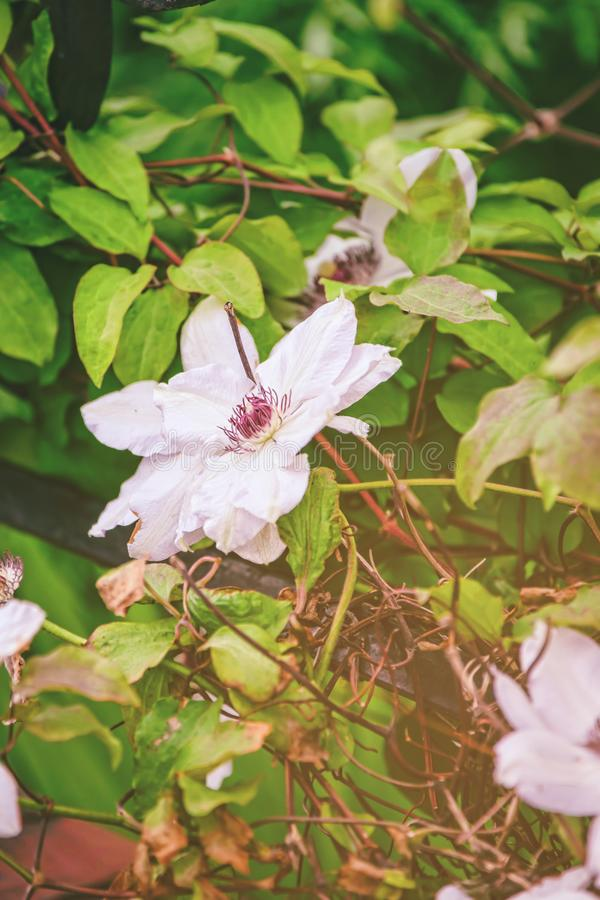 Зацветая куст роз Brecon чая цветков светит Великобританию стоковое фото