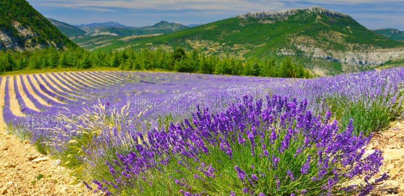 Зацветая лаванда в Альп, Провансаль, Франция стоковое изображение rf