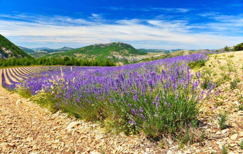 Зацветая лаванда в Альп, Провансаль, Франция стоковые фотографии rf