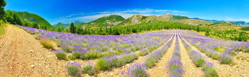 Зацветая лаванда в Альп, Провансаль, Франция стоковое фото rf