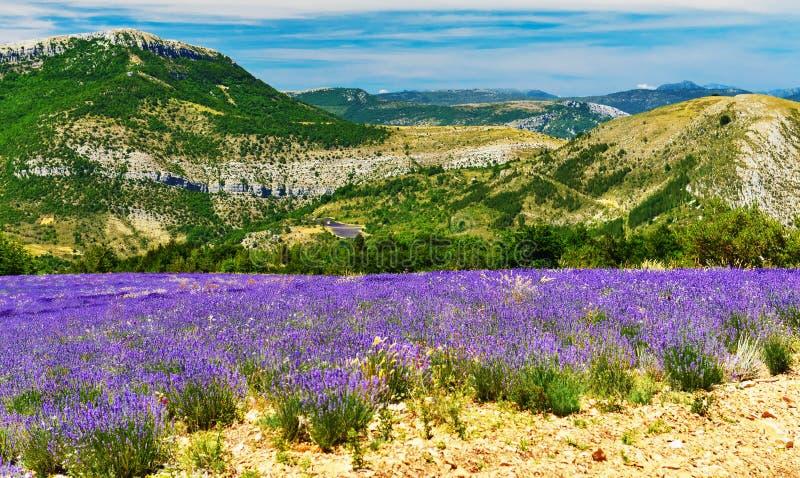Зацветая лаванда в Альп, Провансаль, Франция стоковые изображения