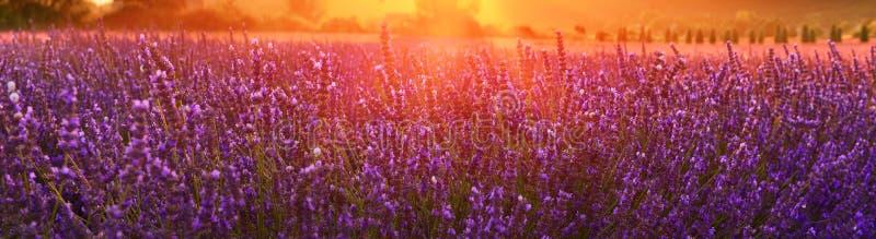 Зацветая лаванда летом на заходе солнца, Провансаль, Франция стоковая фотография rf