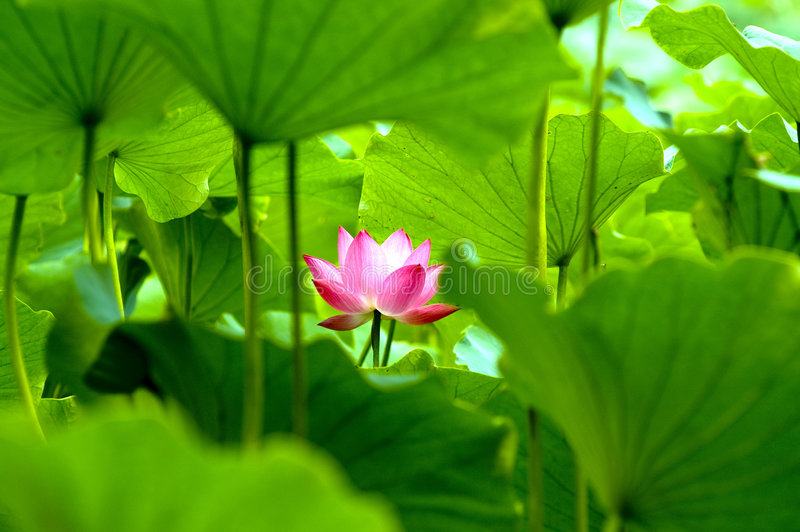 зацветая лотос цветка стоковое фото