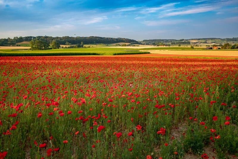 Зацветая маки в полях Фландрии стоковое изображение