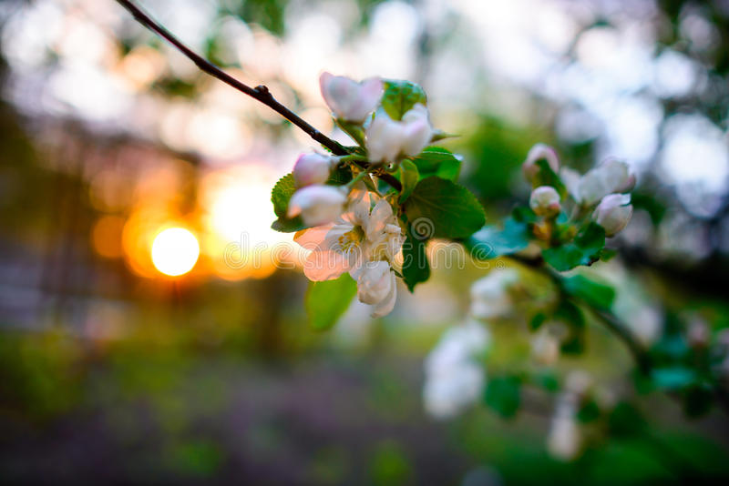 Зацветая миндальное дерево на предпосылке голубого неба стоковые изображения rf