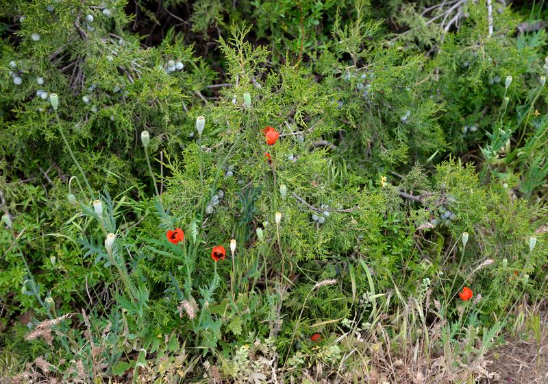 Зацветая одичалые красные мак и трава JunÃperus можжевельника весной стоковое фото rf