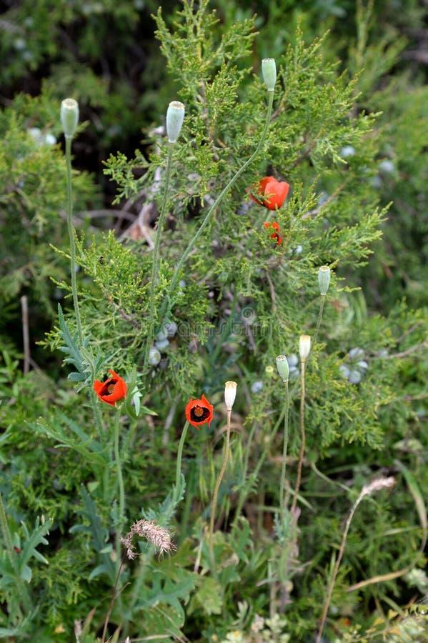 Зацветая одичалые красные мак и трава JunÃperus можжевельника весной стоковая фотография rf