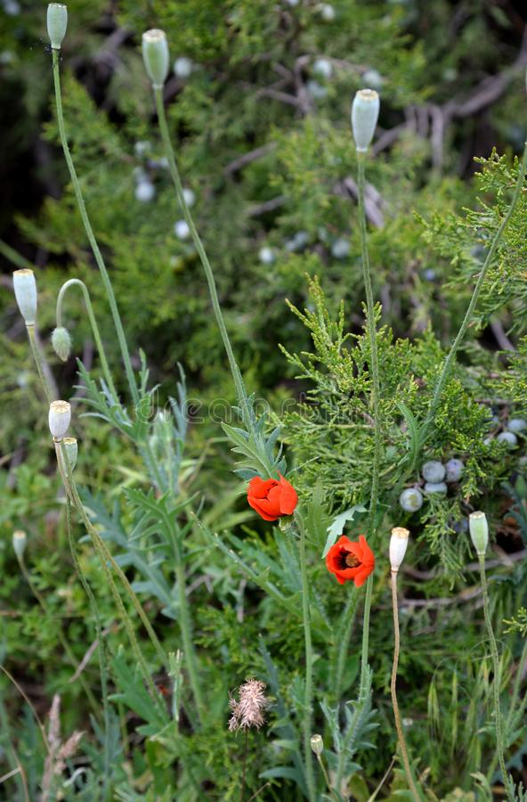 Зацветая одичалые красные мак и трава JunÃperus можжевельника весной стоковые фото