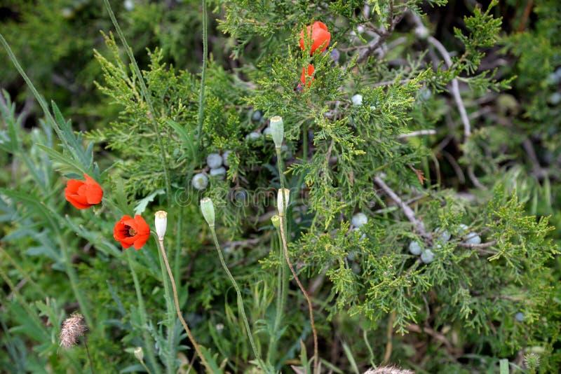 Зацветая одичалые красные мак и трава JunÃperus можжевельника весной стоковые фотографии rf