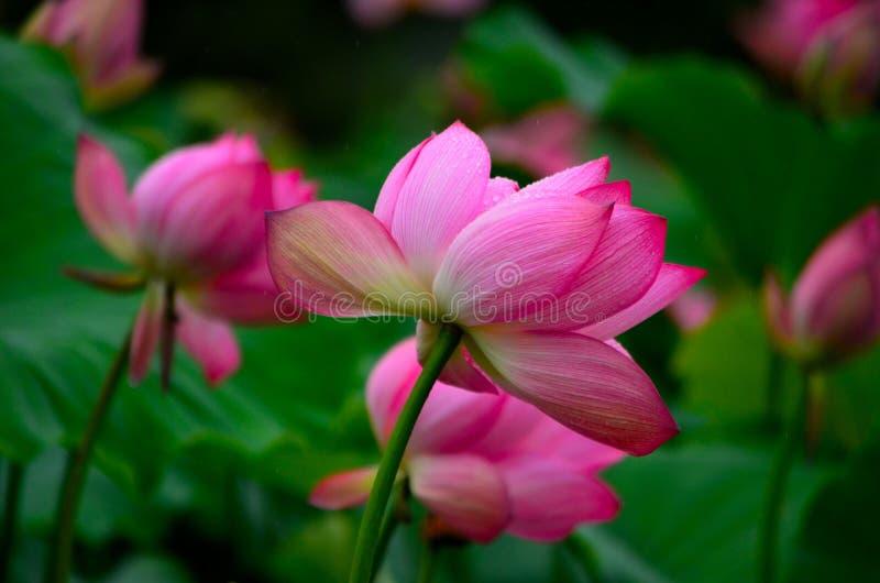 Зацветая лотос, очень красивый стоковые изображения