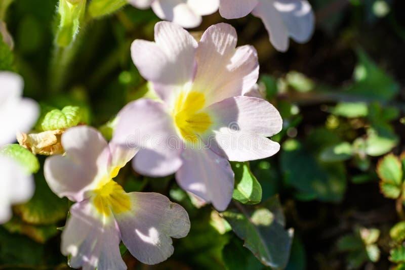 Зацветая первоцвет весной стоковое фото
