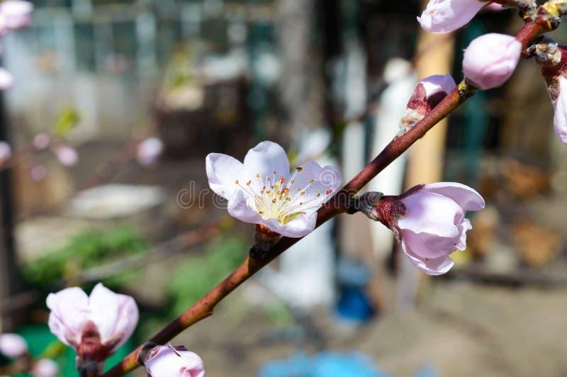 зацветая персик Ветвь фруктовых дерев дерев с розовыми цветками стоковое фото rf