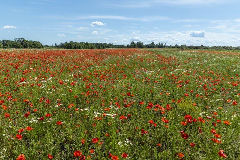 Зацветая поле цветков мака стоковые изображения