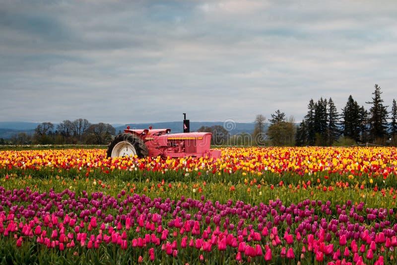 Зацветая поле тюльпана стоковое фото