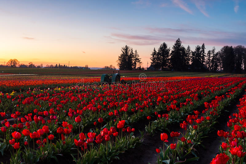 Зацветая поле тюльпанов стоковое фото rf