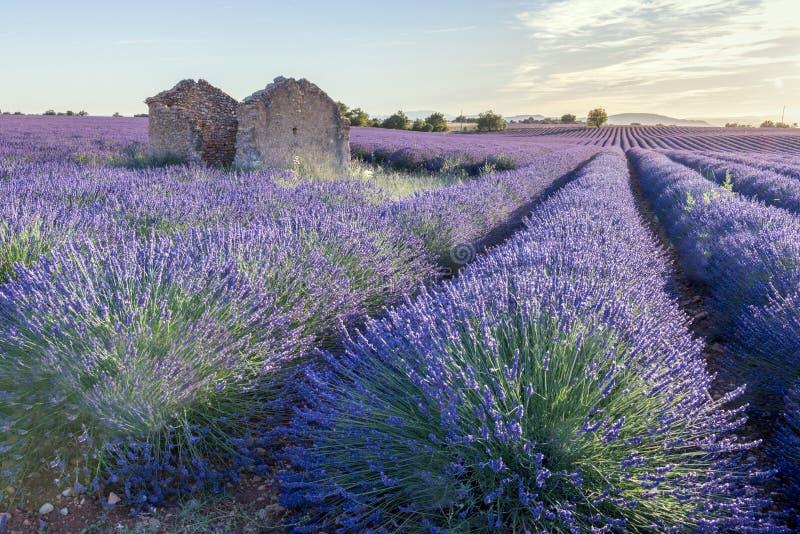 Зацветая поля лаванды в Провансали в Франции стоковые изображения