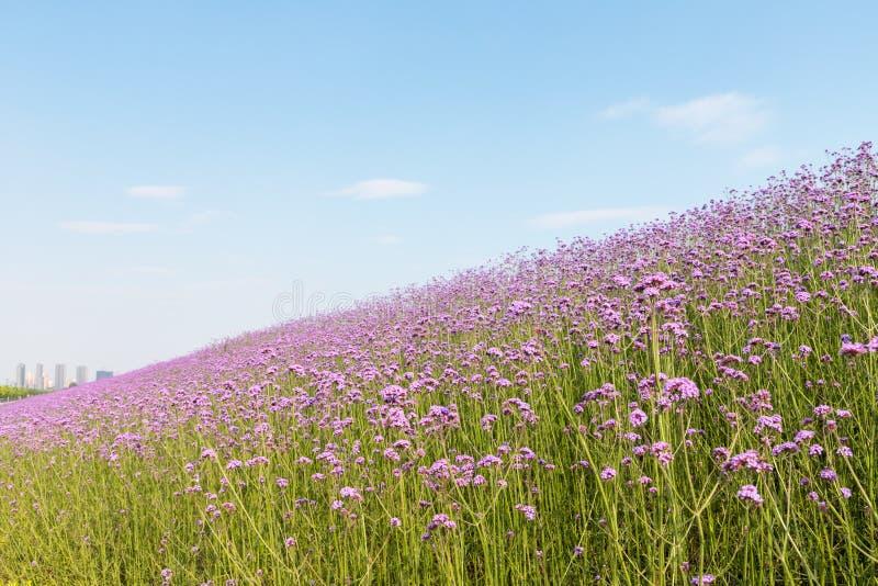 Зацветая пурпурное bonariensis вербены стоковые фотографии rf