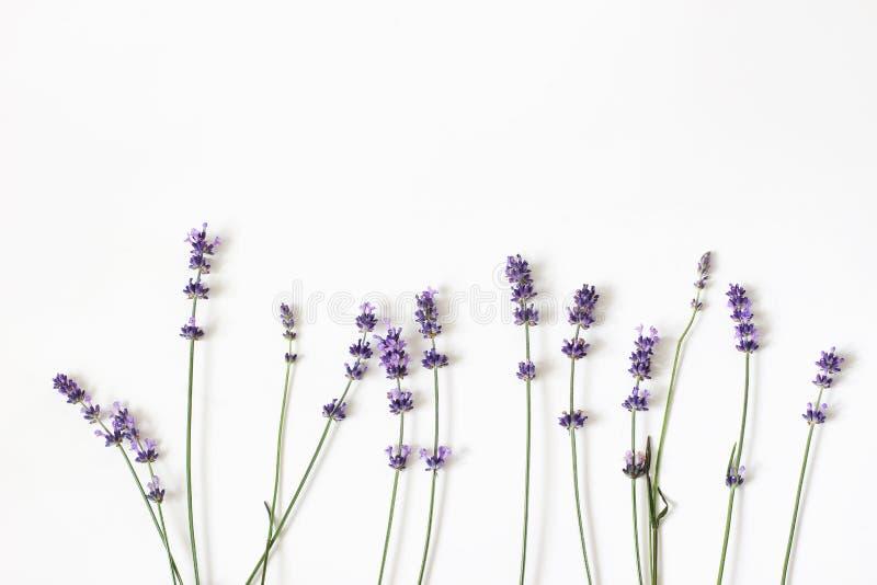 Зацветая пурпурные цветки лаванды изолированные на белой предпосылке таблицы Декоративная флористическая рамка, знамя сети с Lava стоковая фотография