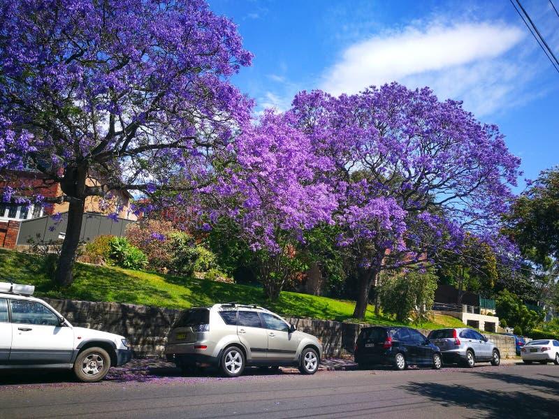Зацветая пурпурный сезон цветка mimosifolia Jacaranda весной Австралии на Arncliffe, улица станции стоковое изображение