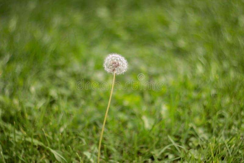 Зацветая пушистый белый одуванчик в зеленой траве в луге Естественная предпосылка зеленой травы Одуванчик в поле стоковое фото