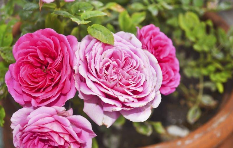 Зацветая розовые розы в цветочном горшке стоковая фотография rf