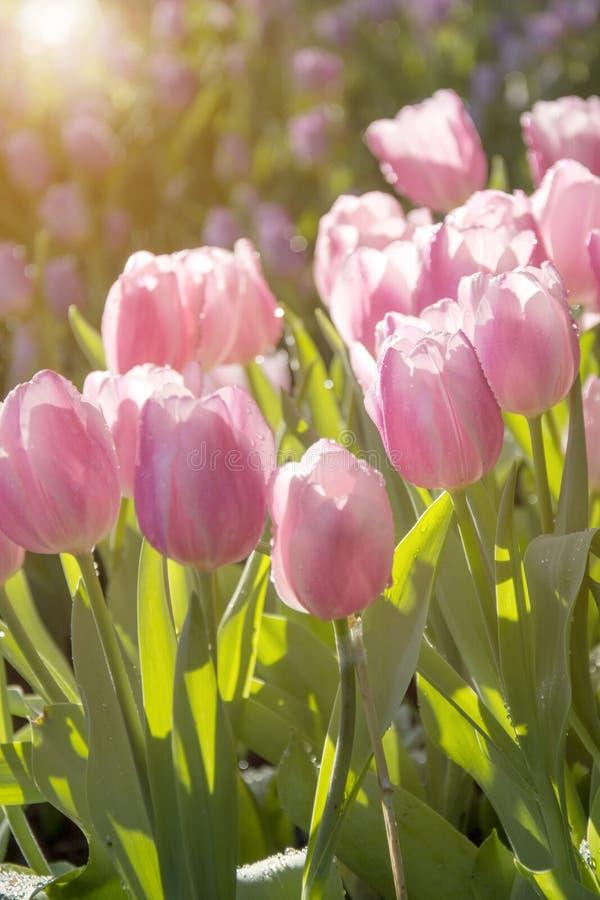 Зацветая розовые тюльпаны в поле с запачканным цветочным садом стоковые изображения