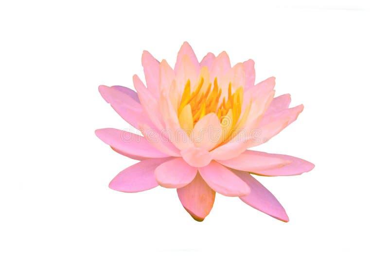 зацветая розовые цветки лилии воды или цветок лотоса изолированный на белой предпосылке с путем клиппирования стоковые изображения