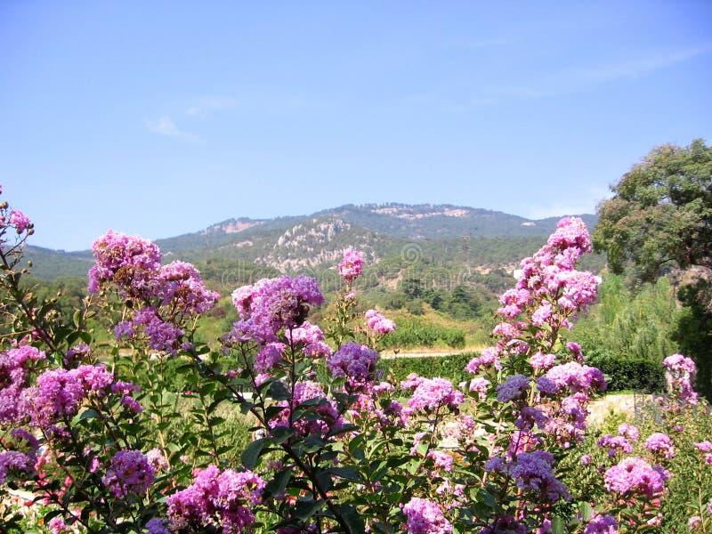 Зацветая розовые цветки на предпосылке великолепных наклонов горы Altai стоковые изображения rf
