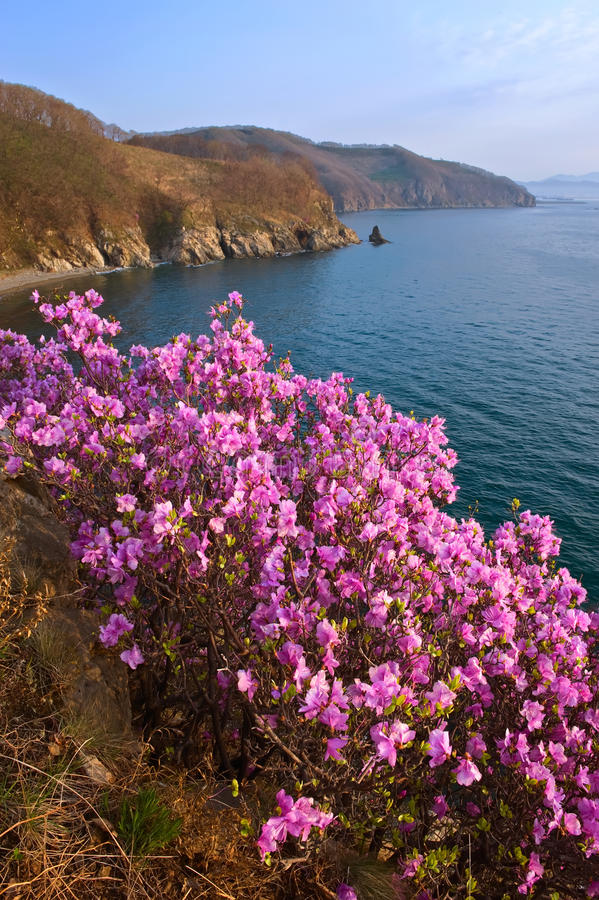 Зацветая рододендрон на берегах залива Находки стоковые изображения rf