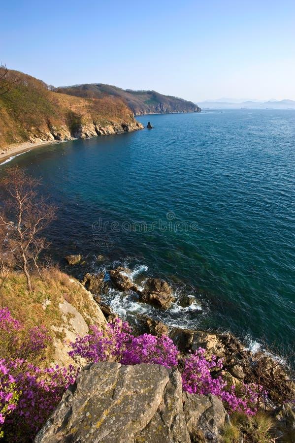 Зацветая рододендрон на берегах залива Находки стоковая фотография rf