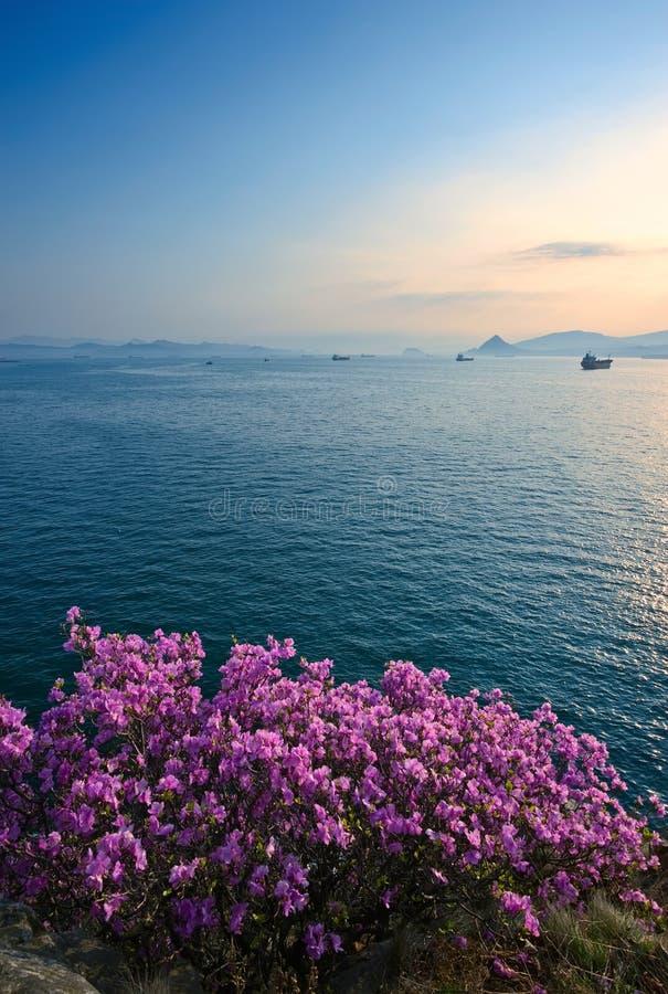 Зацветая рододендрон на берегах залива Находки стоковое изображение rf