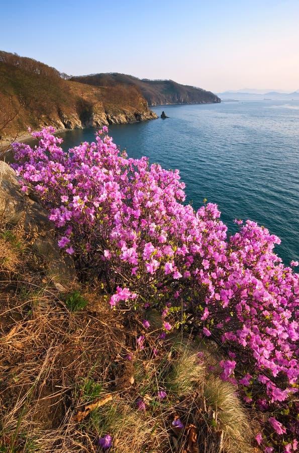 Зацветая рододендрон на берегах залива Находки стоковое фото