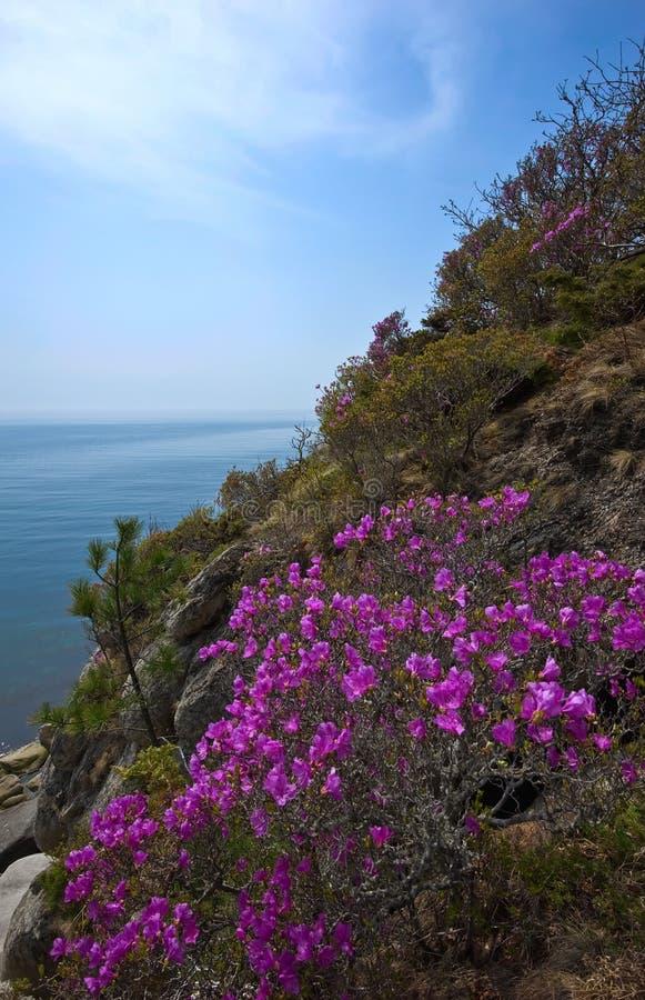 Зацветая рододендрон на берегах залива Находки стоковые фото