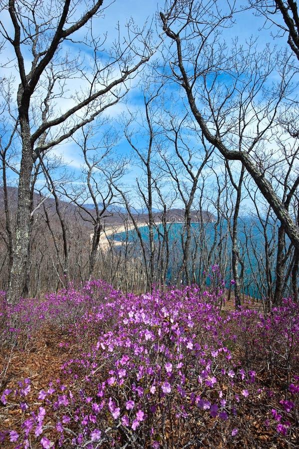 Зацветая рододендрон на берегах залива стоковая фотография