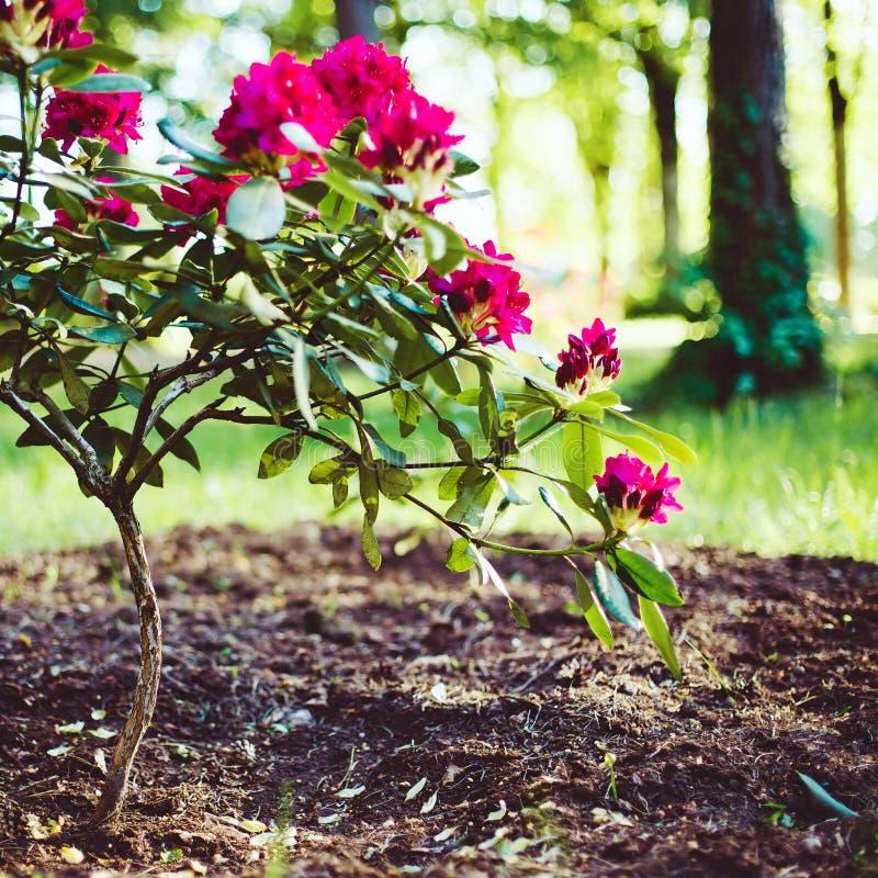 зацветая рододендрон стоковые фото