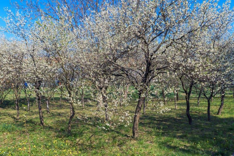 Зацветая сад вишни весной стоковые изображения rf