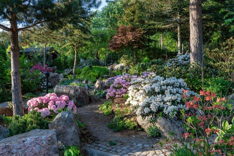 Зацветая сад рододендрона в Швеции в выравнивать солнечный свет стоковая фотография rf