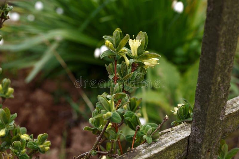 Зацветая сад цветков каприфолия весной Куст caerulea Lonicera стоковые изображения rf