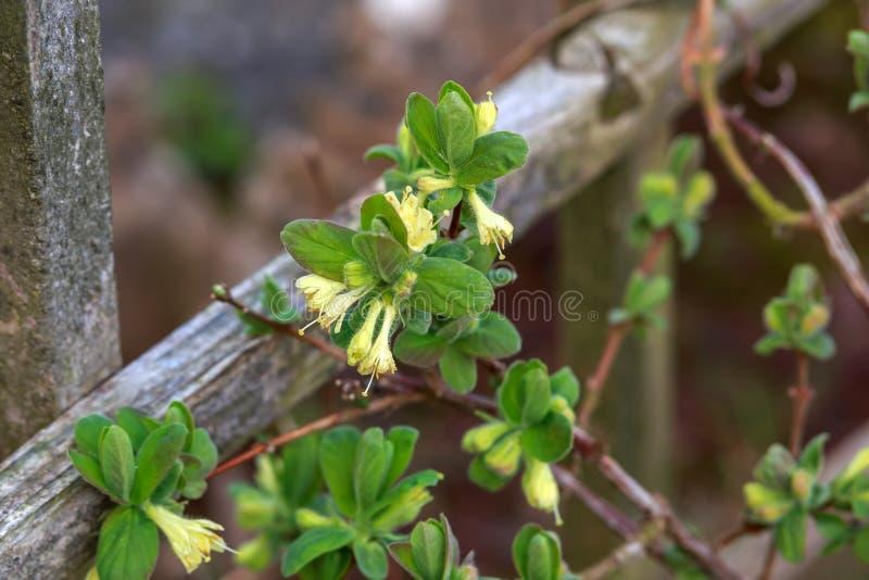 Зацветая сад цветков каприфолия весной Куст caerulea Lonicera стоковые фото