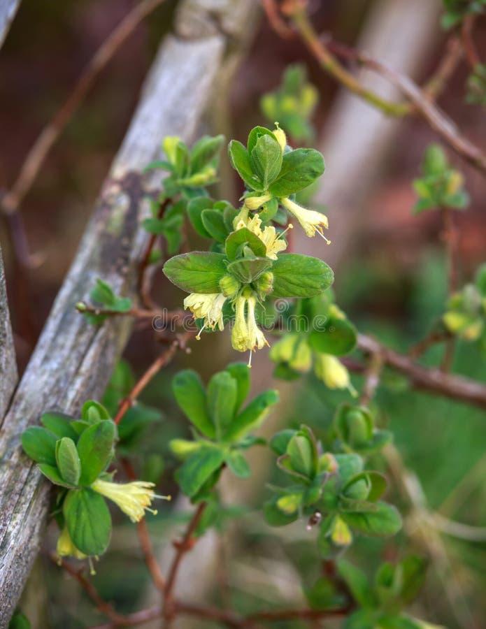 Зацветая сад цветков каприфолия весной Куст caerulea Lonicera стоковые изображения