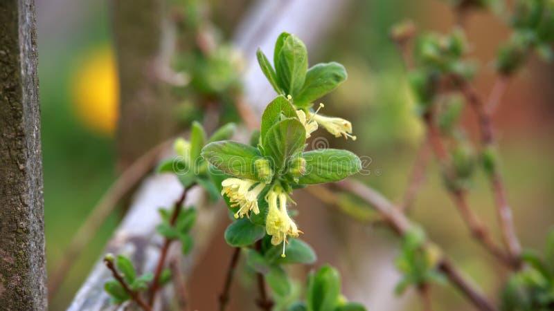 Зацветая сад цветков каприфолия весной Куст caerulea Lonicera стоковое фото rf
