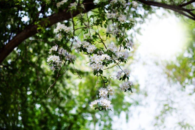 Зацветая сад яблока, ветви дерева с белыми цветками на зеленом запачканном солнечном конце предпосылки вверх, вишневый цвет весны стоковые изображения rf
