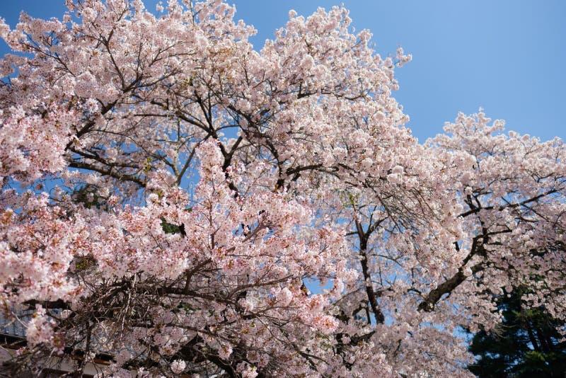 Зацветая Сакура цветет весной стоковые изображения