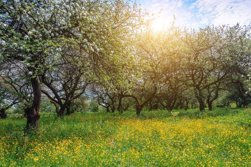 Зацветая сад яблока, весна стоковые изображения rf