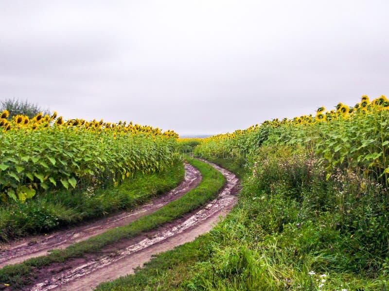 зацветая солнцецвет поля стоковое изображение