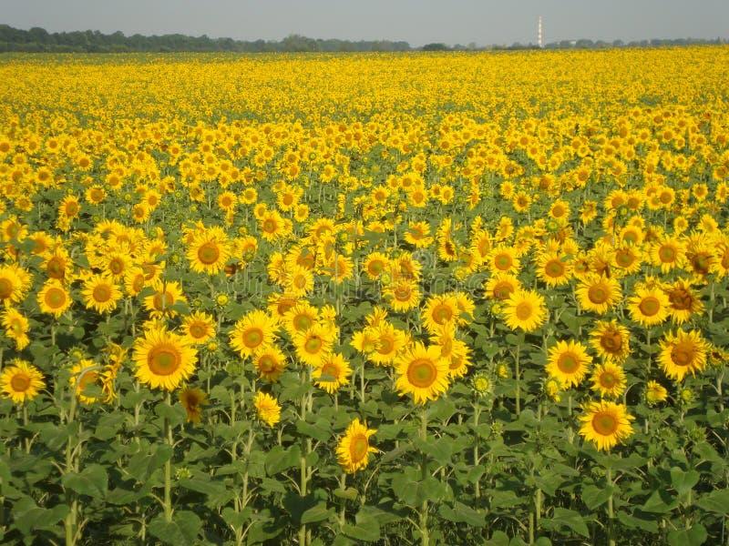 зацветая солнцецветы Чудесное время года стоковое изображение rf